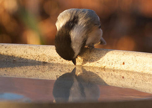 Narcissus Chickadee by Diane Porter