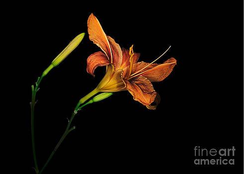 Judith  Flacke - Naturalised daylily Hemerocallis flower