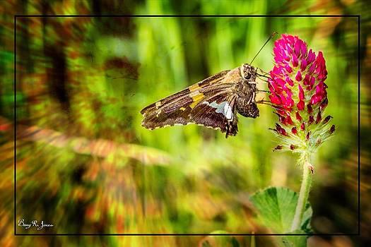 Barry Jones - Butterfly - Clover - Nature