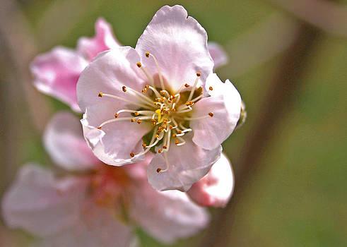 Veronica Vandenburg - Nectarine Blossom