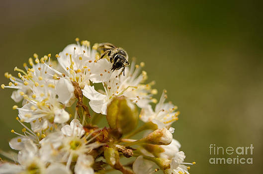Nectaring Bumble Bee by Tiffany Rantanen