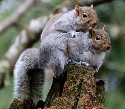 Fifty Shades Of Gray Squirrel by Kym Backland