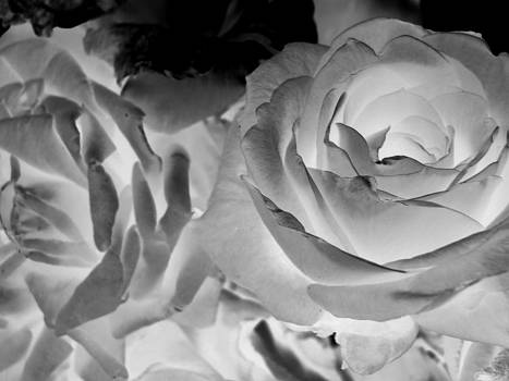 Negative Roses by Stacie Adams