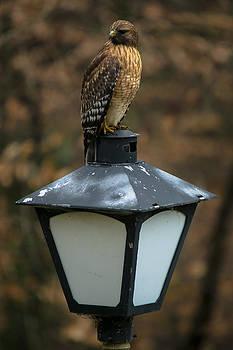 Neighborhood Watch Hawk by Robert L Jackson