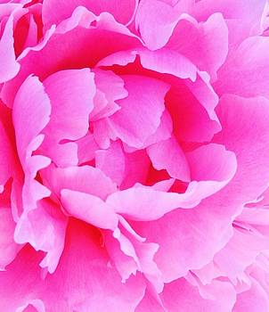Neon pink peony by Stephanie Callsen