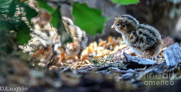 Nest of California quail chick by DJ Laughlin