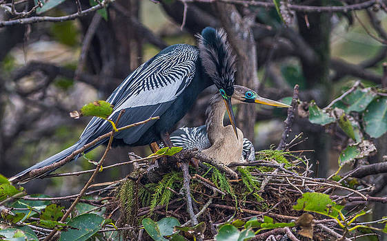 Nesting Anhingas by Andrea  OConnell