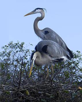 Grace Dillon - Nesting Great Blue Herons