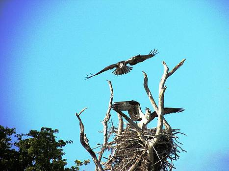 Nesting Ospray by Will Boutin Photos