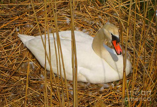 Nesting Swan by Judy Palkimas