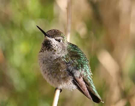 Nevada Humming Bird by Rebecca Christine Cardenas