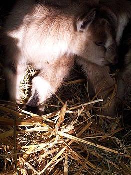 New Born Baby Goat by Nickolas Kossup