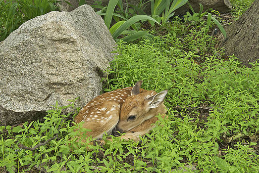 Michael Peychich - New Born Fawn