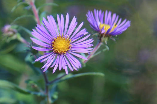 New England Aster by Gerald Murray Photography