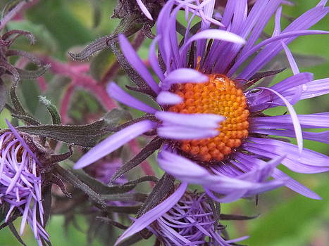 New England Aster Purple by Gene Cyr