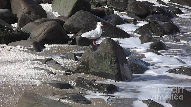New Quay Gull 3 by John Williams