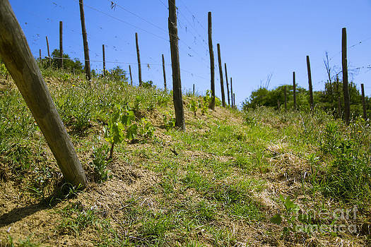 New vineyard plantation by Stefano Piccini
