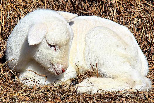 Newborn Lamb by Leslie Kirk