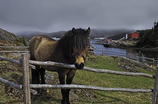 Newfoundland Pony by Spencer Dove