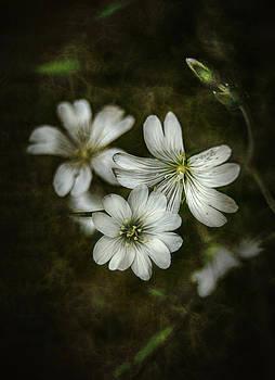 Gynt   - Nice white flowers in dark