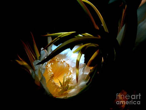 Night Blooming Cactus by L T Sparrow