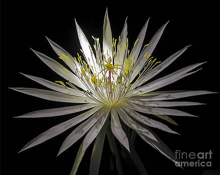 Night-Blooming Cereus 1 by Gerald Grow