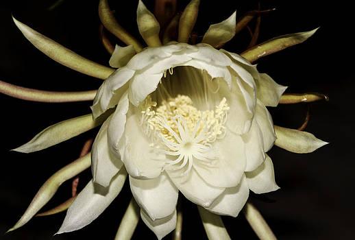 Bonnie Davidson - Night Blooming Cereus