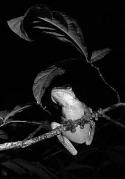 Sarah Pemberton - Night Frog