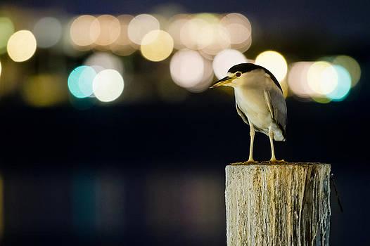 Night Heron by Benjamin King