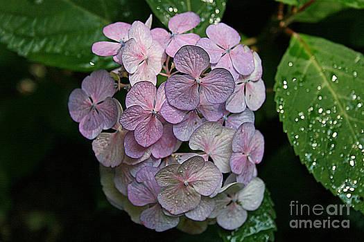 Niki Blue Hydranga Blossom by Kathy DesJardins