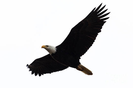 John Daly - Nisqually Eagle