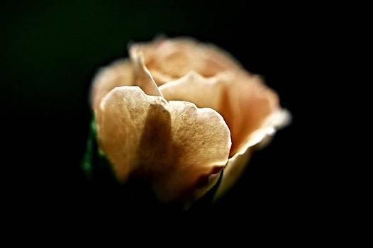 Nite Rose by  Jeff Mantz Rhodes