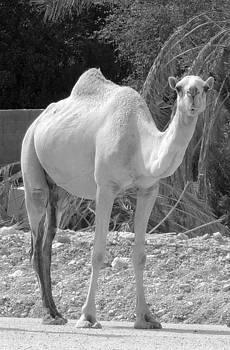 Nomadic Camel by Heather Gordon