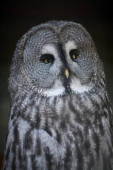North American Owl by Derek Sherwin