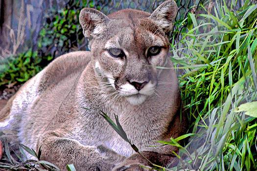 North American Puma by Rusty Jeffries