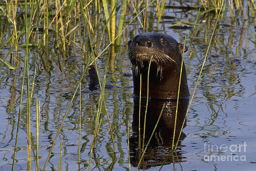 North American River Otter by Meg Rousher