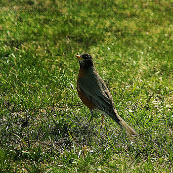North American Robin In The Spring by Denyse Duhaime
