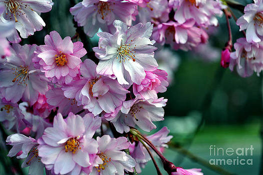 North Carolina Cherry Blossoms by Eva Thomas