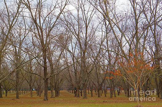 North Florida Orchard in Fall by Gail Kent