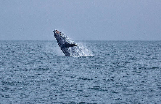 North Pacific Humpback Whale by Craig Brown