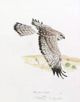 Michael Earney - Northern Harrier Hawk