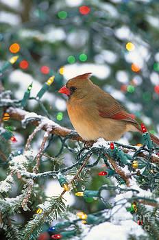 Steve Maslowski - Northern Cardinal And Christmas Lights