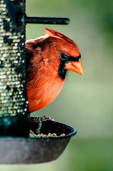 Charles Moore - Northern Cardinal