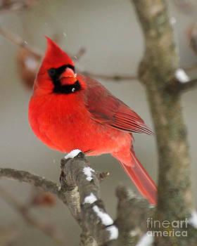 Northern Cardinal In Winter I by Deborah  Smith