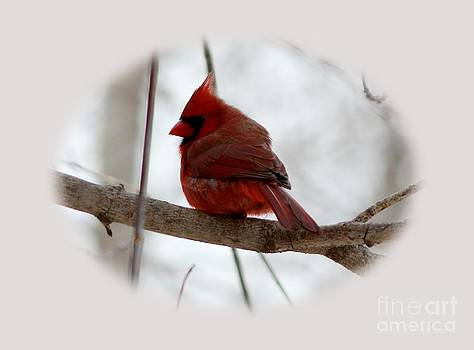 Northern Cardinal by Lori Tordsen