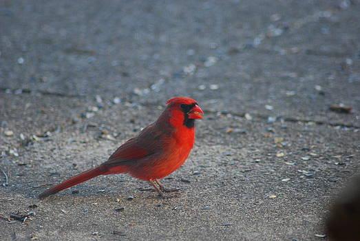 Northern Cardinal by Wanda Jesfield