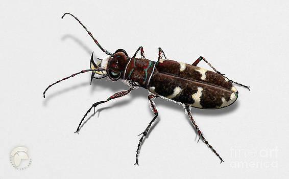 Northern Dune Tiger Beetle Cicindela hybrida - coleoptere Cincidele hybride -Sandjegere loepebillene by Urft Valley Art