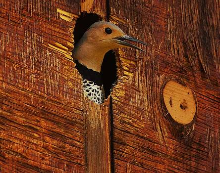 Billy  Griffis Jr - Northern Flicker