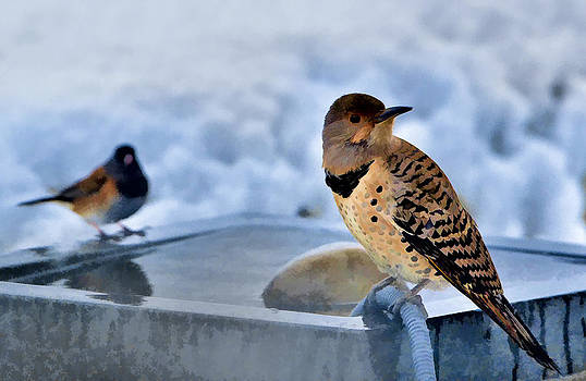 Paul W Sharpe Aka Wizard of Wonders - Northern Flicker by the Bird Bath