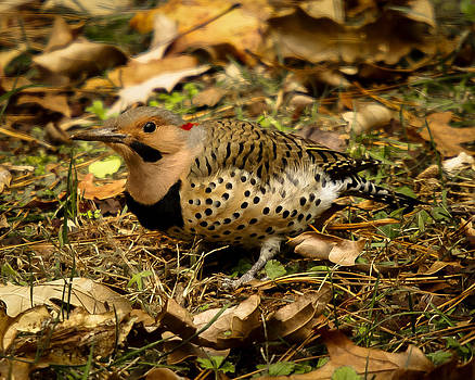 Northern Flicker Woodpecker by Robert L Jackson